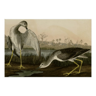Tell-tale Godwit Poster