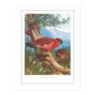 Temminck s Tragopan Postcard