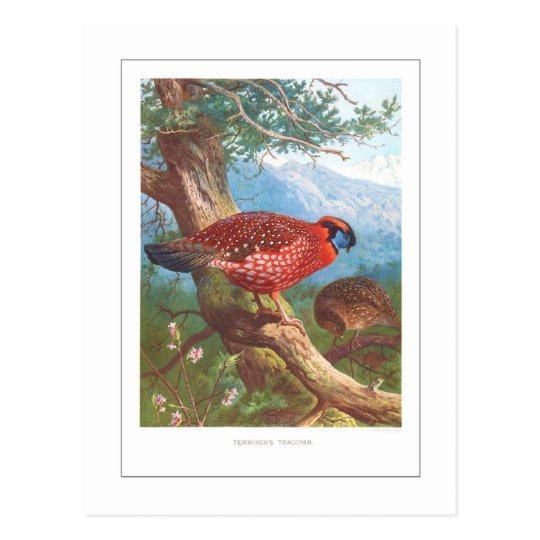 Temminck's Tragopan Postcard