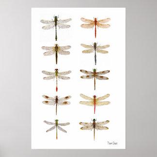 Ten Dragonfly Species Poster