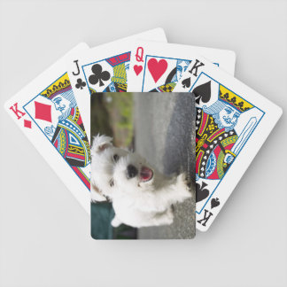 Ten week old female west highland terrier bicycle playing cards