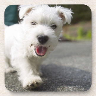 Ten week old female west highland terrier coaster