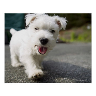 Ten week old female west highland terrier poster