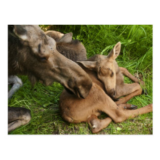 Tender Mother Moose Postcard