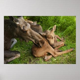 Tender Mother Moose Poster