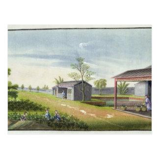 Tending tea plants (w/c on paper) postcard