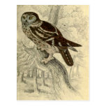 Tengmalm's Owl:  Vintage Jardine's  print postcard
