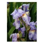 Tennessee Irises Postcard