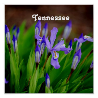 Tennessee State Flower Poster