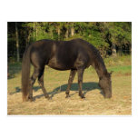 Tennessee Walking Horse Postcard