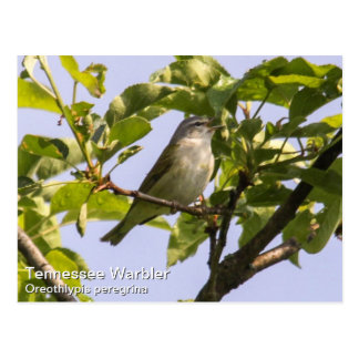 Tennessee Warbler Post Card