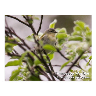 Tennessee Warbler Post Cards