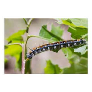 Tent Caterpillar on an Oak Tree Poster