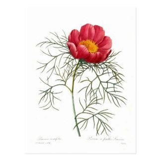Tenuifolia del Paeonia Postales
