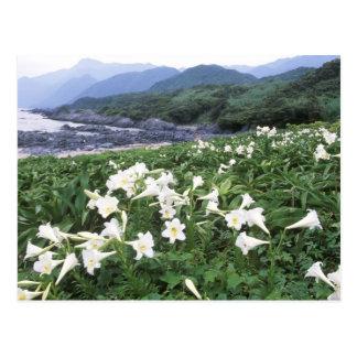 Teppo Yuri (Lily), Yakushima, Kagoshima, Japan Postcards