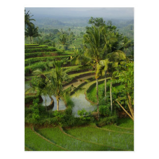 Terrace Ricefield in Bali Postcard