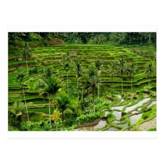 Terraza del arroz en Bali Tarjetas Postales