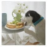 Terrier de Jack Russell. 2 Tejas