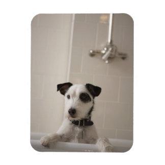 Terrier de Jack Russell Imanes Rectangulares