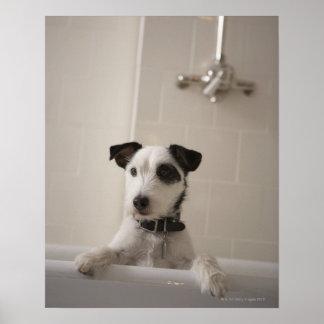 Terrier de Jack Russell Posters
