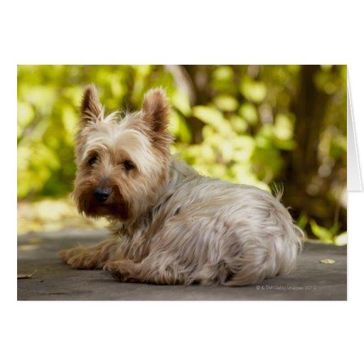 Terrier de los E.E.U.U., Colorado, Yorkshire que s Tarjeta