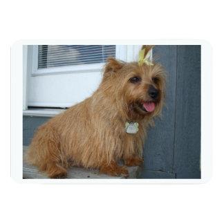 "Terrier de Norfolk sitting.png Invitación 5"" X 7"""