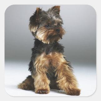 Terrier de Yorkshire, primer Colcomanias Cuadradass
