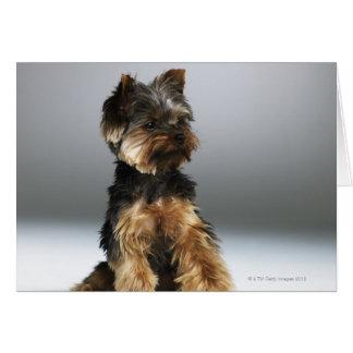 Terrier de Yorkshire, primer Tarjeton