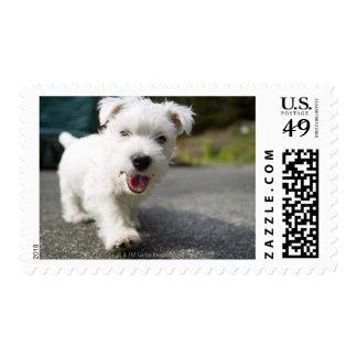 Terrier del oeste femenino viejo de diez semanas sellos