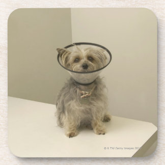 Terrier dog wearing protective collar beverage coaster