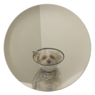 Terrier dog wearing protective collar, close-up dinner plate