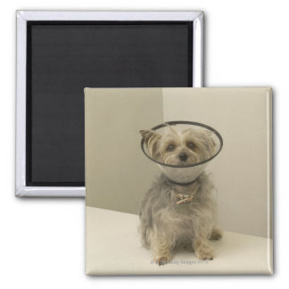 Terrier dog wearing protective collar, close-up refrigerator magnets
