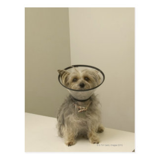 Terrier dog wearing protective collar, close-up postcard