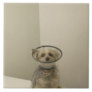 Terrier dog wearing protective collar, close-up tile
