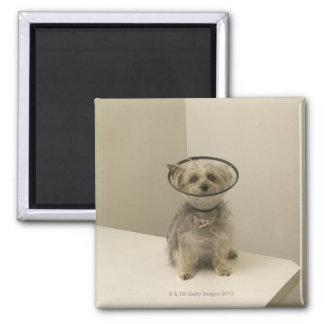 Terrier dog wearing protective collar magnets