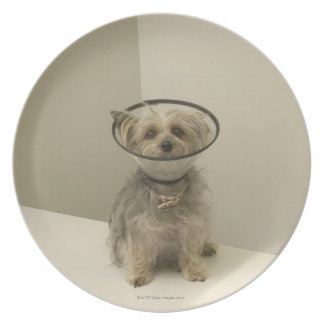 Terrier dog wearing protective collar plate