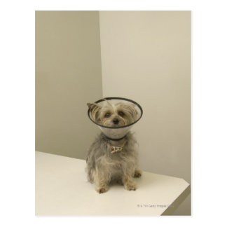 Terrier dog wearing protective collar postcard