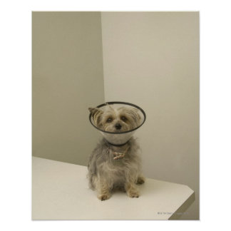 Terrier dog wearing protective collar poster