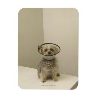Terrier dog wearing protective collar vinyl magnet