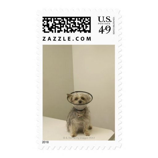Terrier dog wearing protective collar stamps