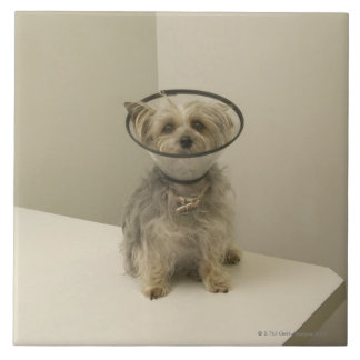 Terrier dog wearing protective collar tile