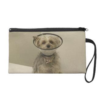 Terrier dog wearing protective collar wristlet