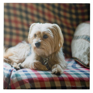 Terrier lying on checkered blanket tile