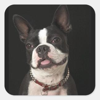 Terrier sonriente de Boston con el cuello Calcomanías Cuadradas