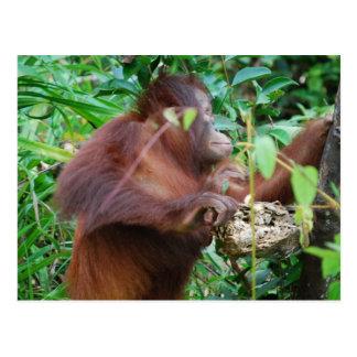 Tesoro del orangután tarjetas postales