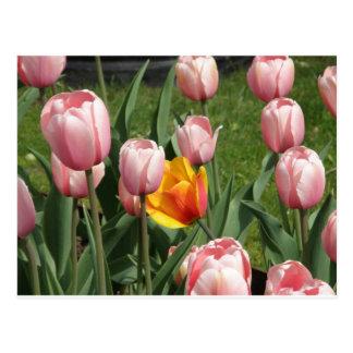 Tesoro del tulipán tarjeta postal