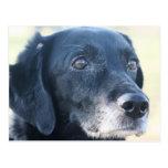Tess - Black Labrador Photo-3 Post Card