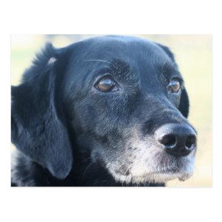 Tess - Black Labrador Photo-3 Postcard