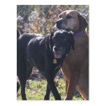 Tess - Labrador - Priscilla Photo-2 Postcards