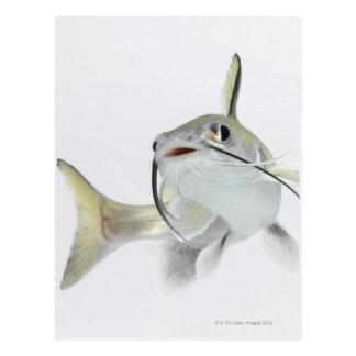 Tete sea catfish (Hexanematichthys seemanni) 2 Postcard